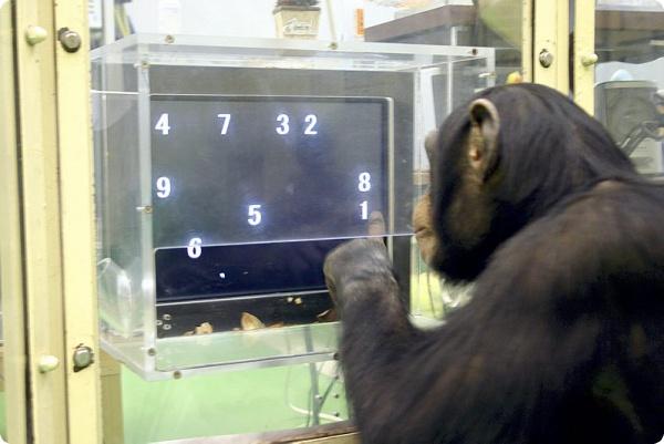 Свобода талантливого шимпанзе зависит от решения суда
