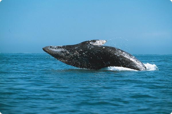 Ученые впервые установили спутниковую метку киту