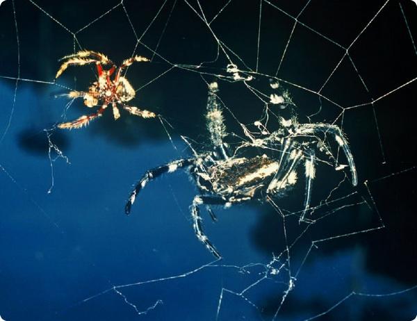 Гигантская паутина пауков Дарвина