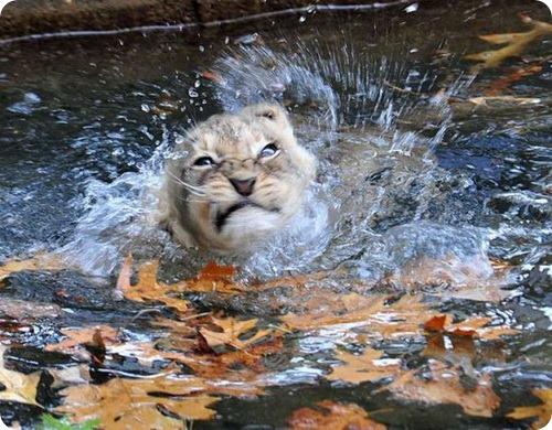 Мокрые львята