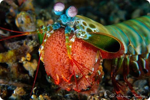 Морской рак-богомол
