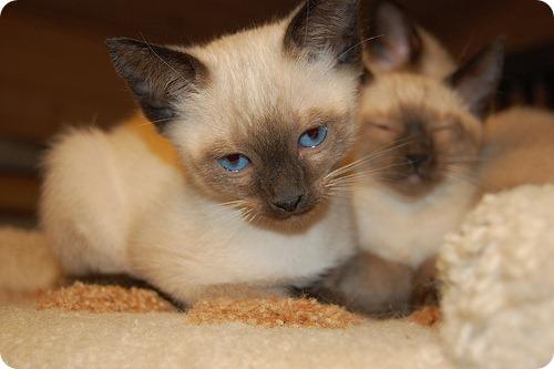 Тайская кошка, фотографии Тайской кошки