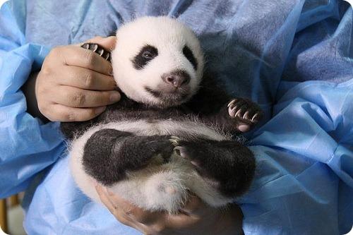 Монохромные панды из Чэнду