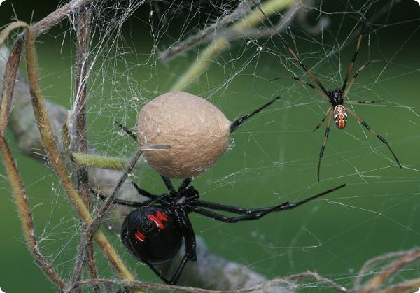 Ядовитые пауки атакуют Новую Зеландию!