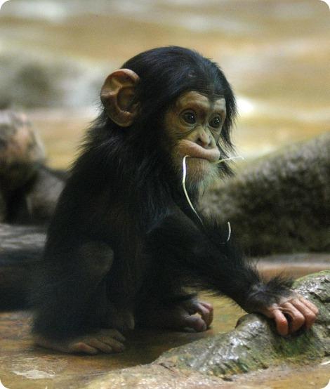 Шимпанзе из Эверленда