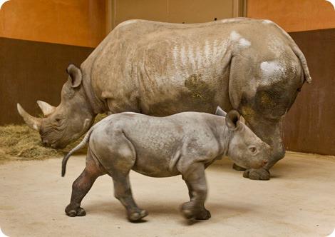 Где твой рожик, чернокожий носорожик?