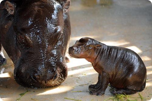 В Майами родился детеныш карликового бегемота
