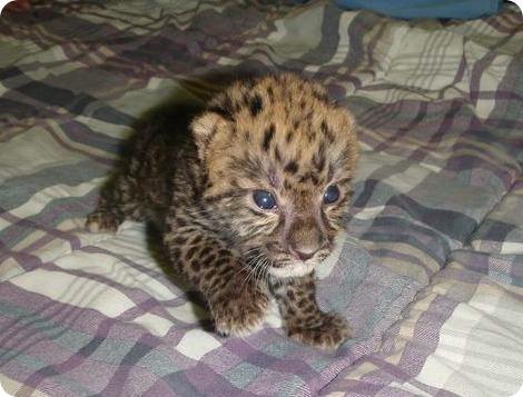 Амурский леопардик идет на поправку!