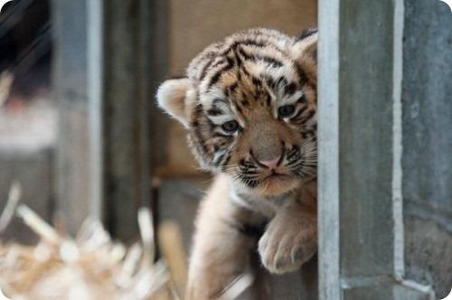 Дебют амурских тигрят в зоопарке Питтсбурга
