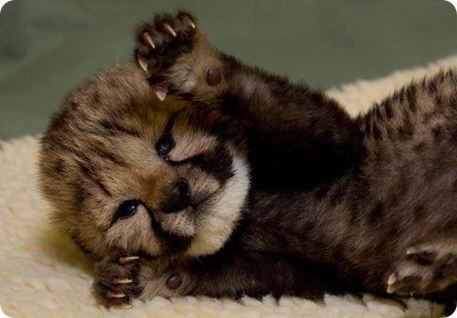 Новорожденный гепард открыл глазки!