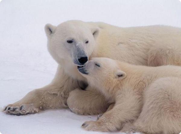 Резервация в Аляске для белых медведей