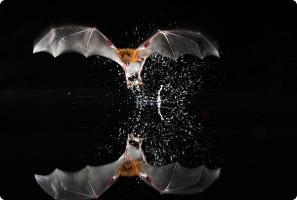 Летучие мыши все гладкие поверхности считают водой