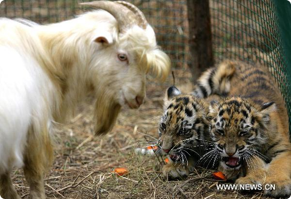 Новая мама тигрят – китайская коза.