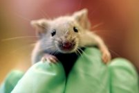 Радиоактивная мышь сбежала из ядерного комплекса