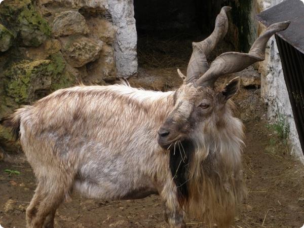 Винторогие козлы появились в Нижнем Новгороде