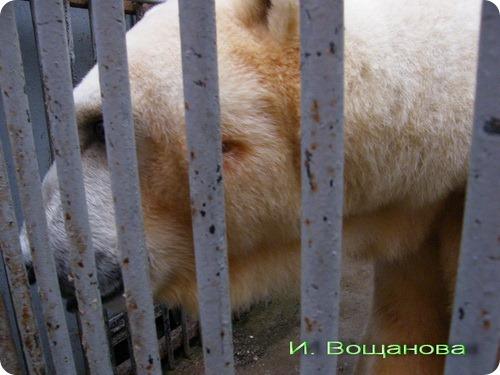 В Московском зоопарке обстреляли белого медведя