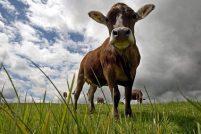 Самые счастливые коровы