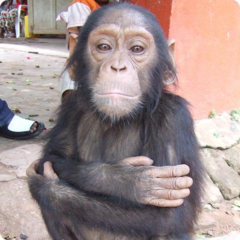 Конго: шимпанзе – жертвы убийств на мясо