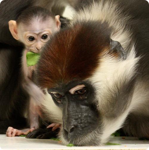 В зоопарке Binder Park родился красноголовый мангабей