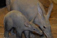 В зоопарке Бронкса родился африканский трубкозуб