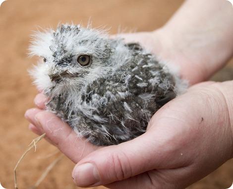 Птенцы австралийских совиных козодоев