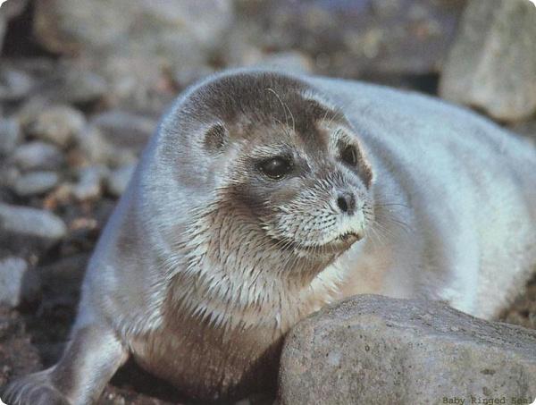 Кольчатые нерпы внесены в список исчезающих видов