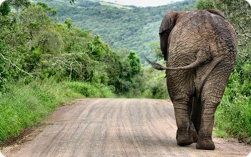 Африканских слонов разделили на два вида