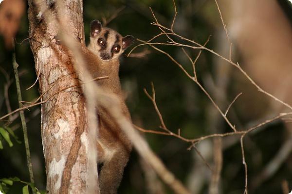 На Мадагаскаре найден новый вид лемуров
