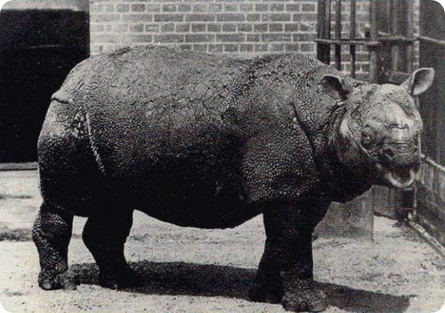 Яванский носорог (лат. Rhinoceros sondaicus)
