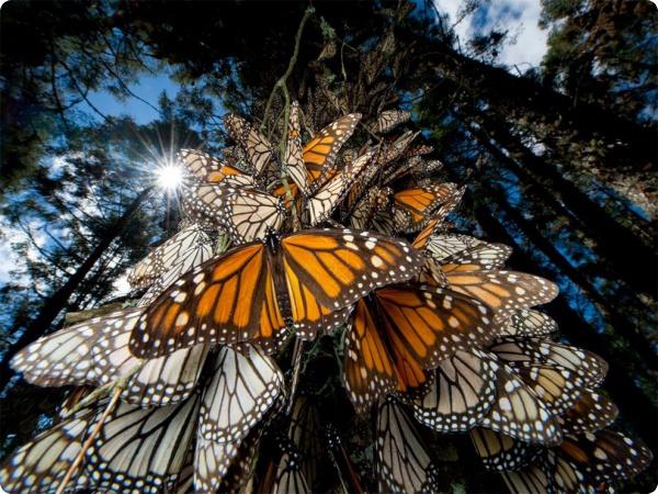 Бабочки-монархи заполонили Мексику