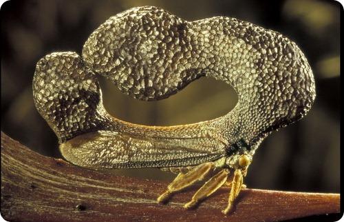 Бразильская горбатка- Bocydium globulare
