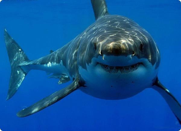 Акулы – убийцы, или жертвы?