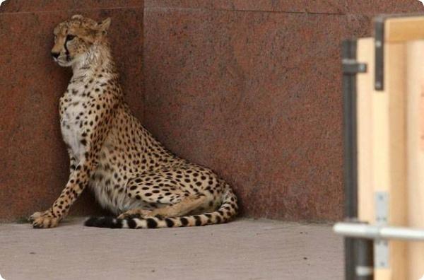 Кто потерял гепарда?