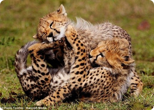 Мама-гепард и шесть ее детенышей