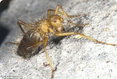 Mormotomyia hirsuta - Страшная волосатая муха