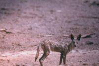 В Африке найден новый вид волка