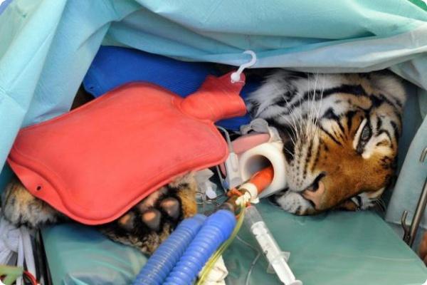 Новый тазобедренный сустав тигрицы