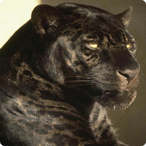 Леопард, фото леопардов