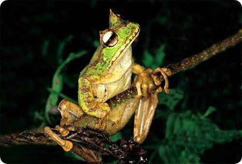 Сумчатые лягушки отменили необратимость эволюции