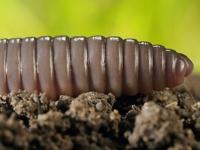 Дождевой червь — животное 2011 года