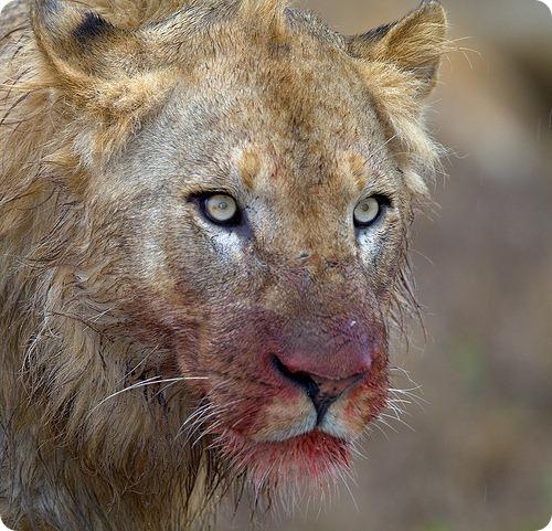 Лев, фотографии львов