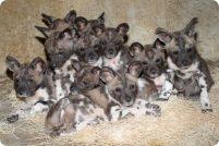 В Брукфилд родились 10 щенков гиеновидной собаки