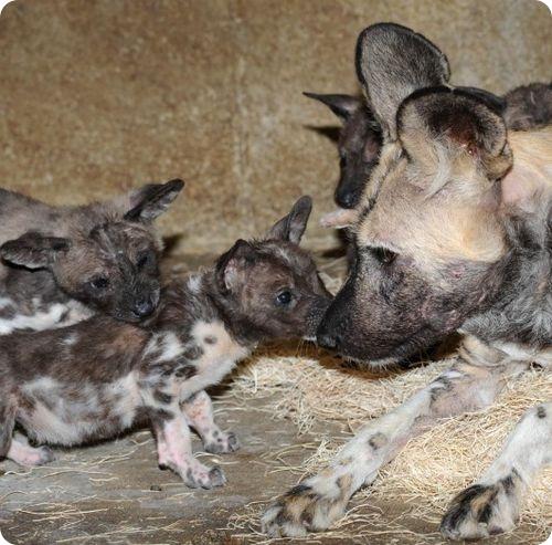 В Брукфилд родились 10! щенков гиеновидной собаки