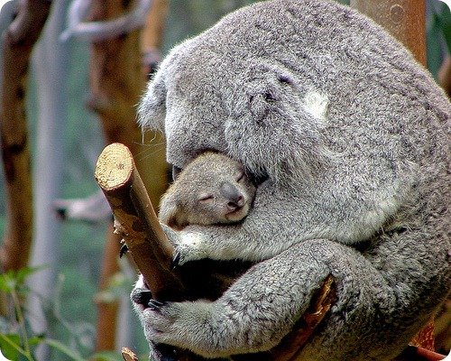 Коала, фото коал