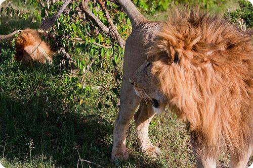 Встреча двух Масайских львов