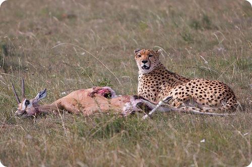Почему популяция гепардов в мире сокращается?