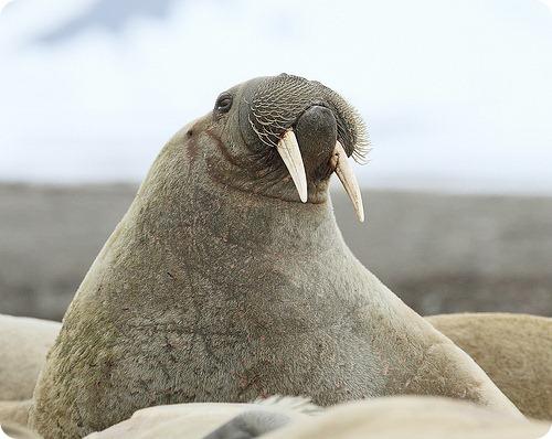 Морж, фото моржей