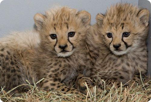 Детеныши гепардов доказали, что прекрасно себя чувствую