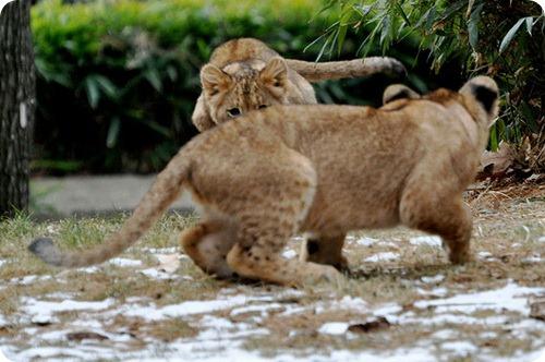 Львята из Национального зоопарка бросают вызов отцу