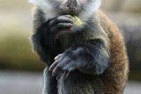 Знакомьтесь – Мотто, бородатая мартышка